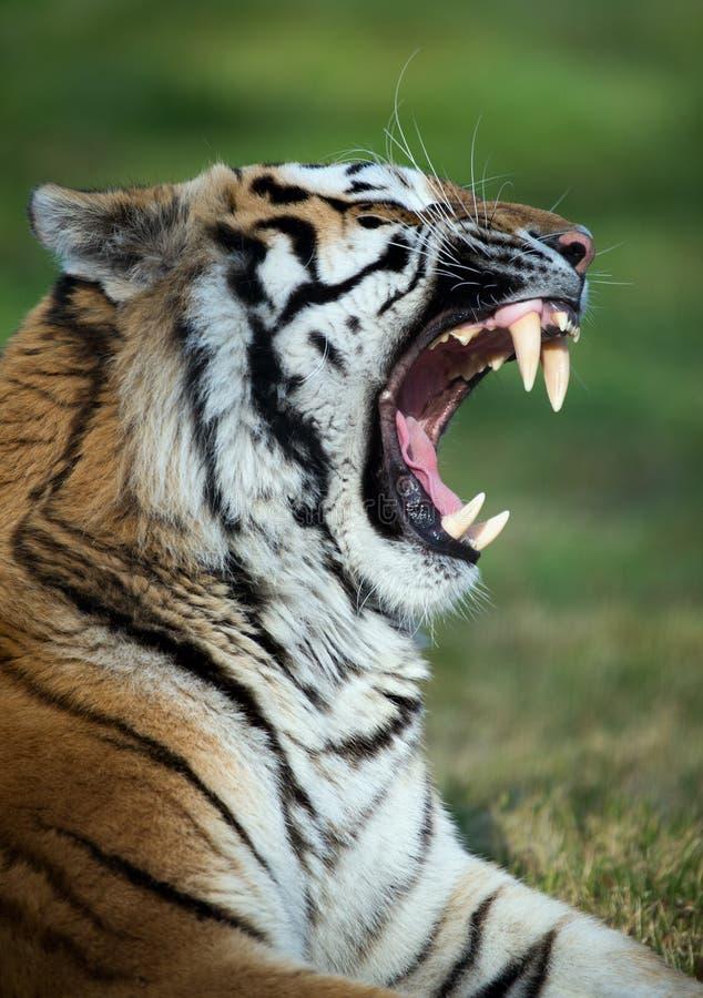 Tiger, der Zähne entblößt lizenzfreies stockfoto