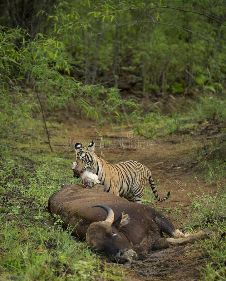 Tiger Dragging Bison byte p? maharashtraen f?r Tadoba tigerreserv, Indien royaltyfri fotografi