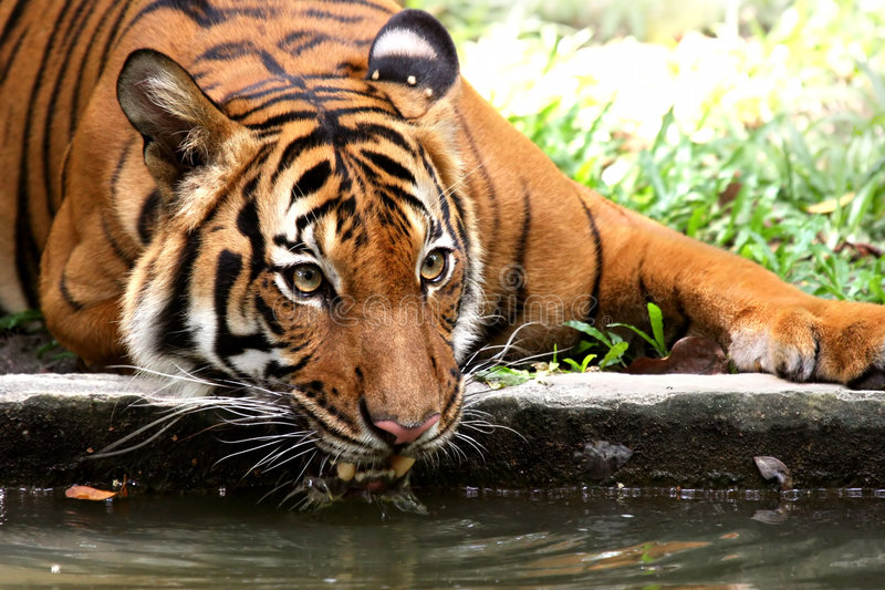 Download Tiger drinking stock photo. Image of indochinese, life - 674970