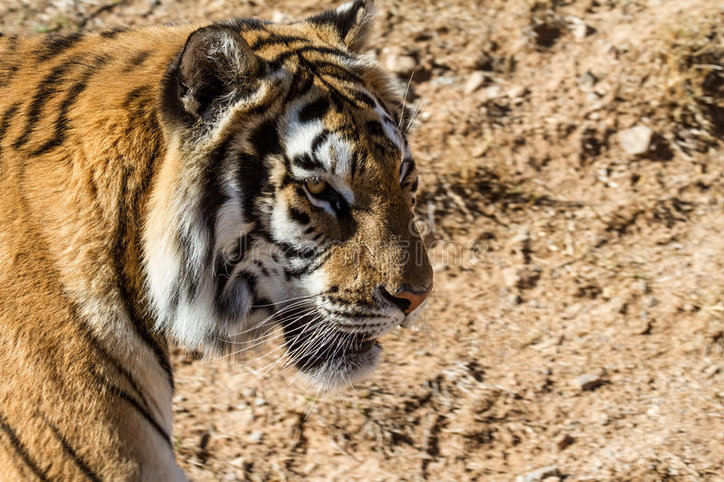 Tiger in a dry environment royalty free stock photos