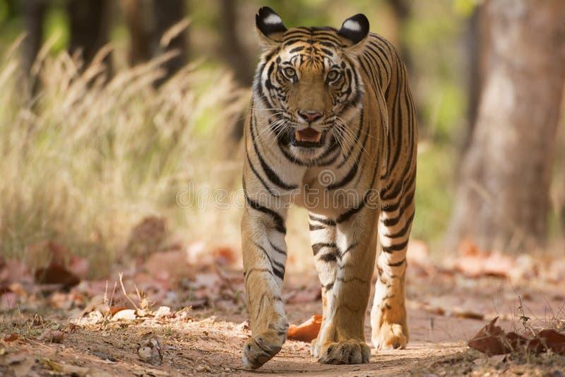 Tiger, ein Kopf auf Schuss lizenzfreies stockfoto