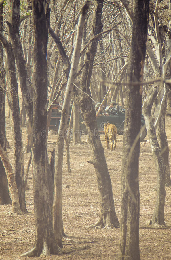 Tiger encounter royalty free stock photos