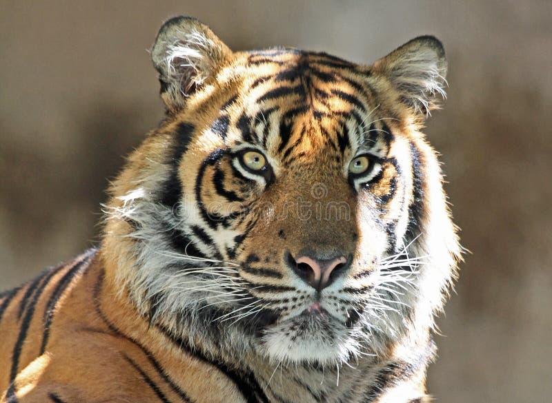 Tiger. Endangered Sumatran Tiger Close Up Portrait royalty free stock images