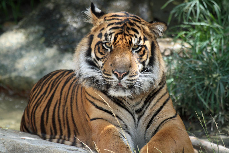 Tiger. Endangered Sumatran Tiger Close Up Portrait royalty free stock photo