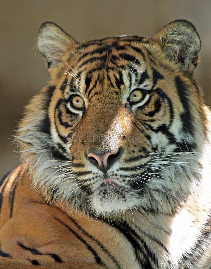 Tiger. Endangered Sumatran Tiger Close Up Portrait royalty free stock photos