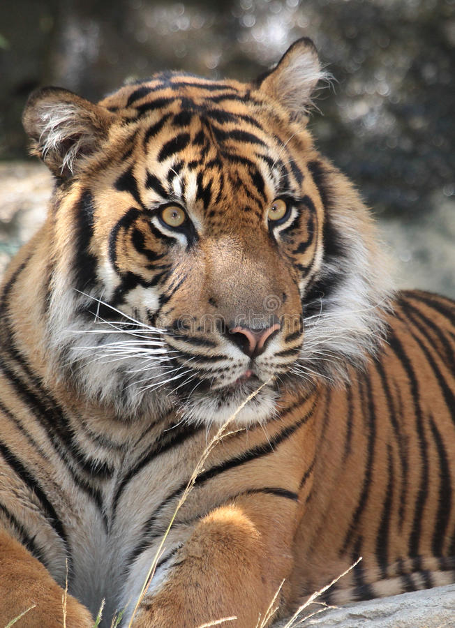 Tiger. Endangered Sumatran Tiger Close Up Portrait royalty free stock photography