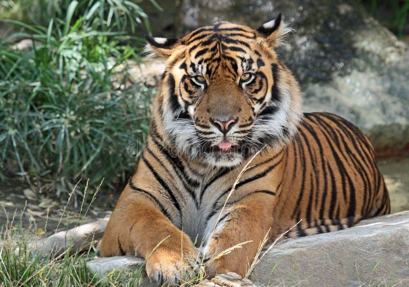 Tiger. Endangered Sumatran Tiger Close Up Portrait stock images