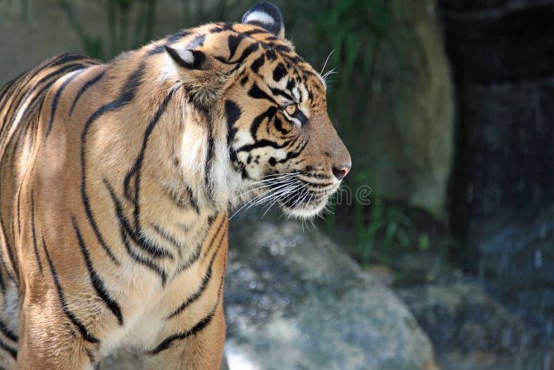 Tiger. Endangered Sumatran Tiger Close Up Profile Portrait stock image