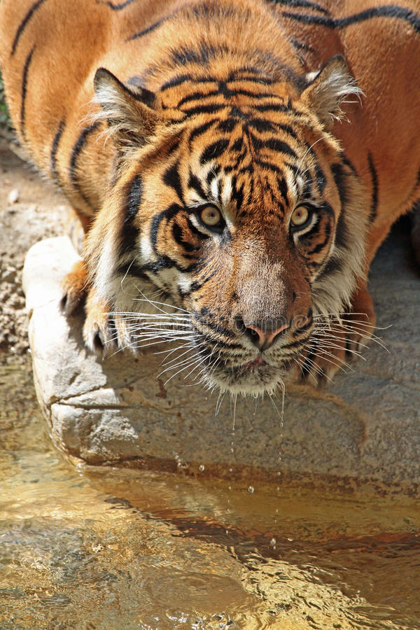 Tiger. Endangered Sumatran Tiger Close Up Profile Portrait stock images