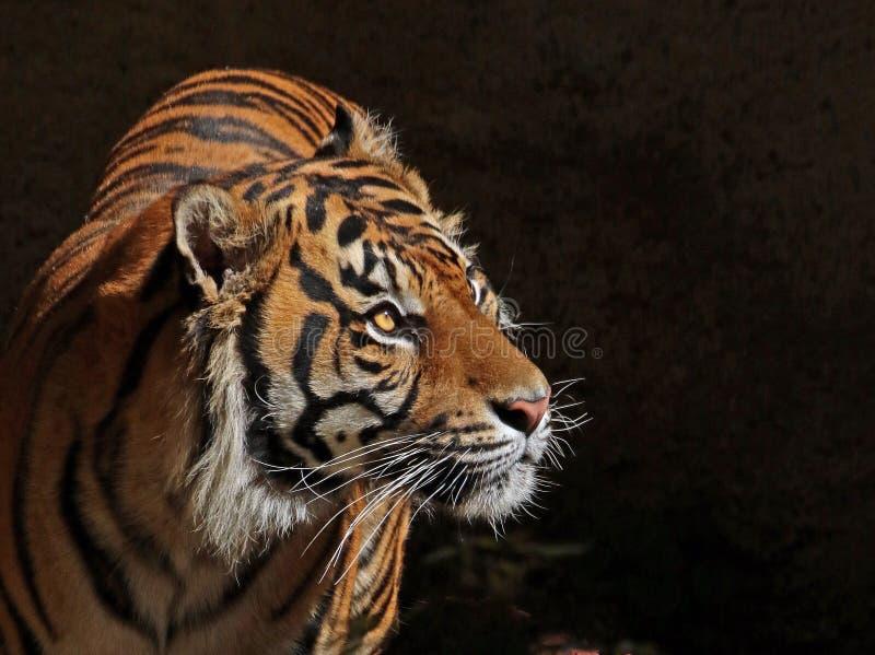 Tiger. Endangered Sumatran Tiger With Dark Background royalty free stock photos