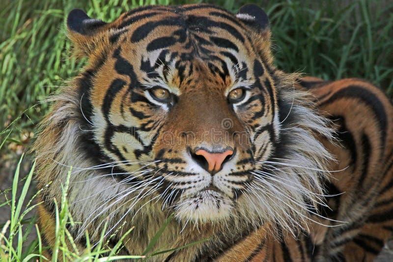 Tiger. Endangered Sumatran Tiger Sitting In Shade royalty free stock images