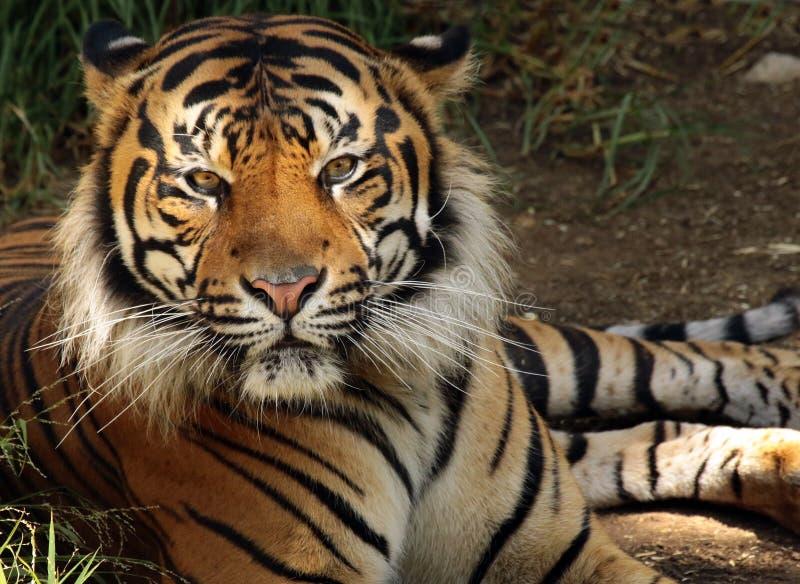 Tiger. Endangered Sumatran Tiger Sitting In Shade royalty free stock photo