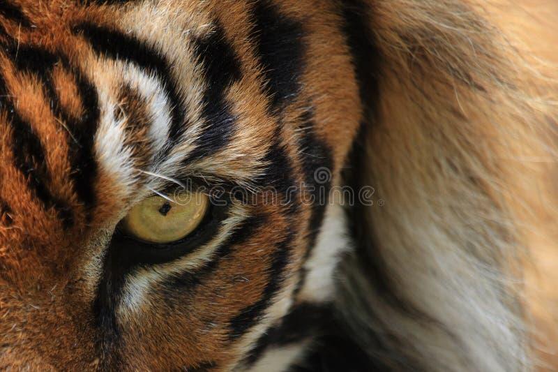 Tiger eye royalty free stock photos