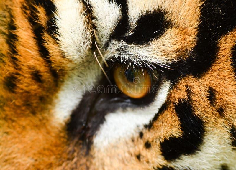 Download Tiger eye stock photo. Image of tiger, carnivore, hunter - 25932024