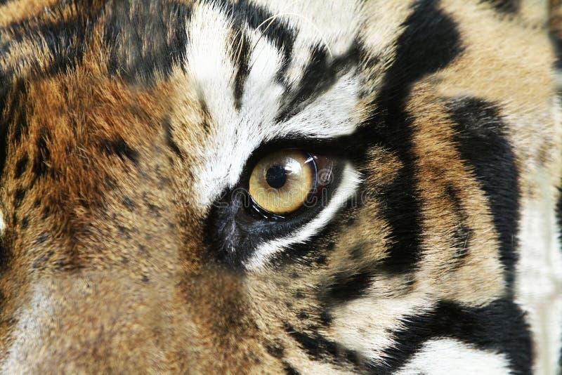 Tiger Eye immagine stock