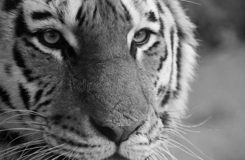 Tiger eyes and face close up in Black and White royalty free stock photos