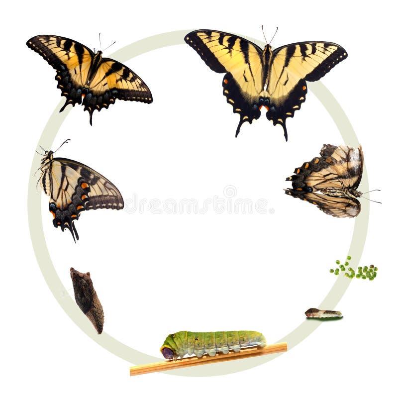 tiger för swallowtail för cirkuleringslivstid stock illustrationer