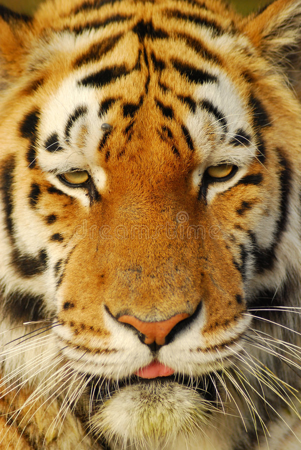 Tiger face. Closeup of a beautiful and colorful Tiger face stock photo