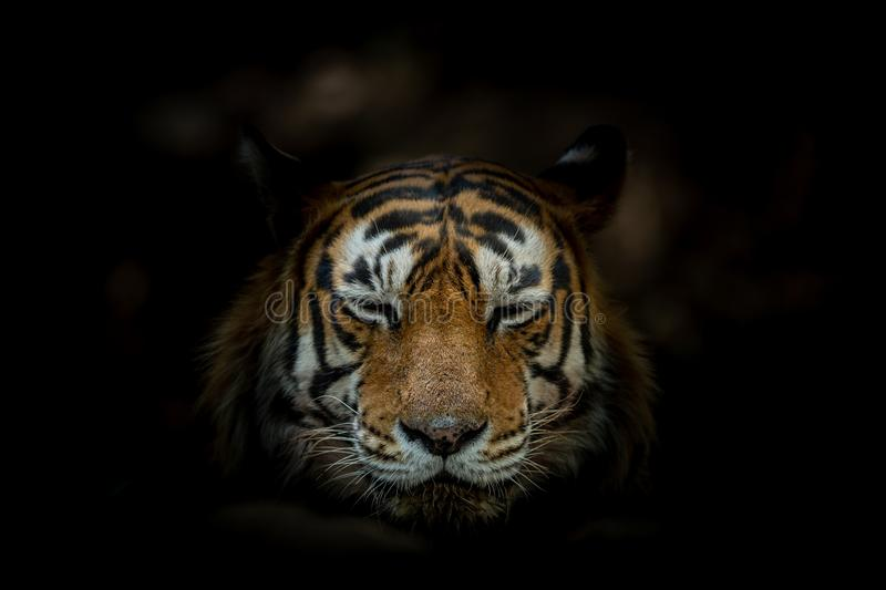 Tiger face on black background at ranthambore. Tiger reserve, rajasthan, india. space for text on image stock image