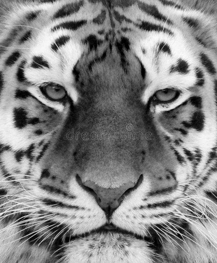 Tiger face close up in black and white. Beautiful Tiger face close up in black and white royalty free stock photography