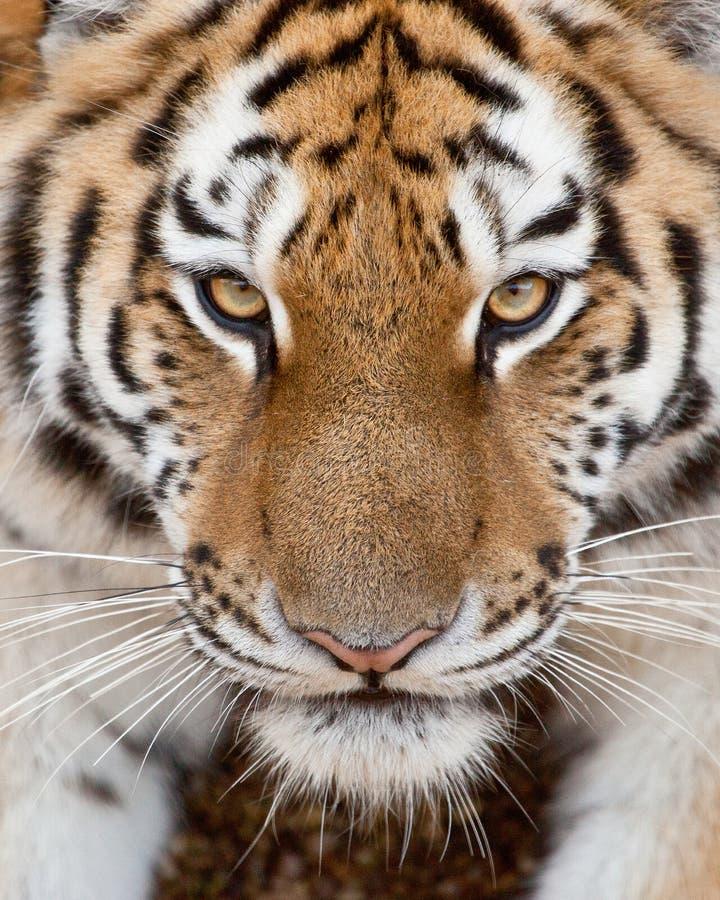 Tiger Face. Close up tiger face staring at the camera stock image