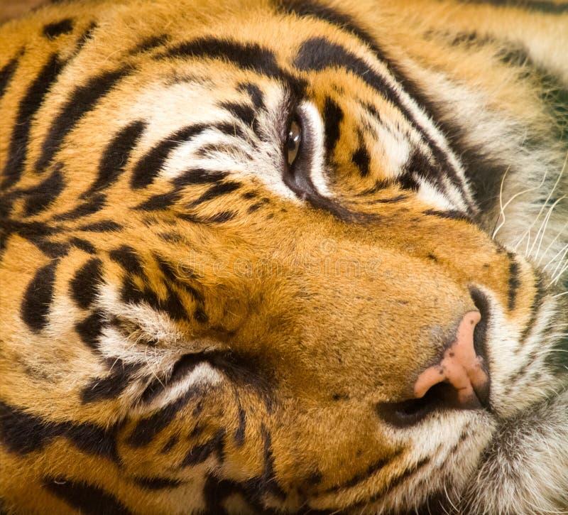 Tiger face closeup. Closeup of tiger face with peeking eye royalty free stock photo