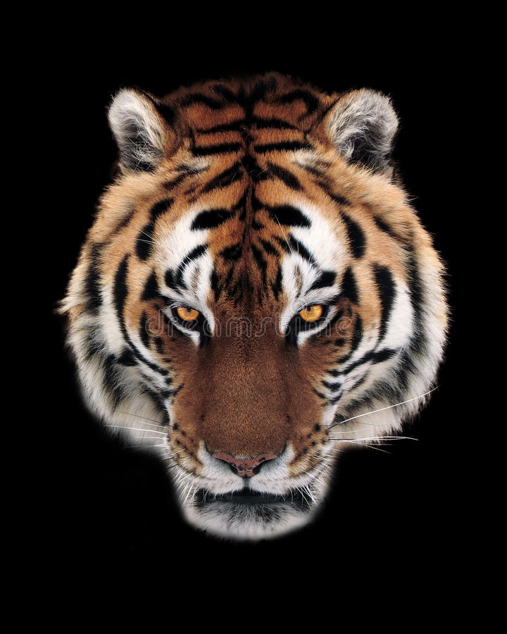 Tiger face isolated at black. The Tiger face isolated at black stock photos