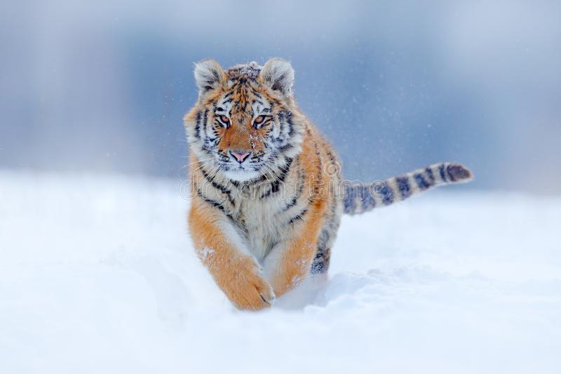 Tiger face running in snow. Amur tiger in wild winter nature. Action wildlife scene, dangerous animal. Cold winter in taiga, Russi. A. Snowflakes with beautiful royalty free stock photography
