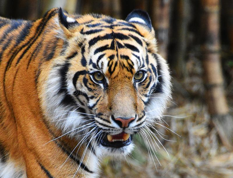 Tiger face showing teeth ears folded back. Long whiskers bamboo in background stock photos