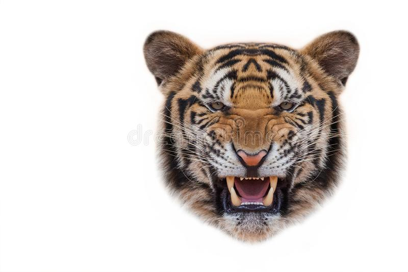 Tiger face on white background. Angry tiger,Sumatran tiger Panthera tigris sumatrae beautiful animal and his portrait stock photo