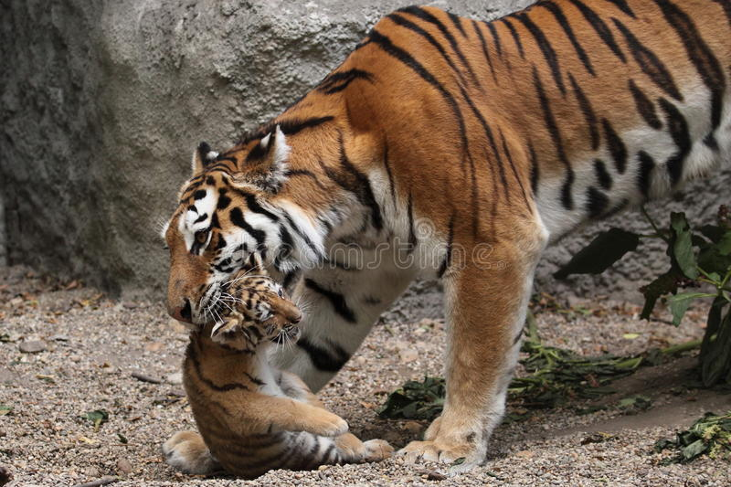 Download Tiger family stock image. Image of female, tiger, ussuri - 20231593