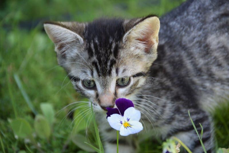 Tiger Flower: Il gattino non è viola restringente immagini stock libere da diritti