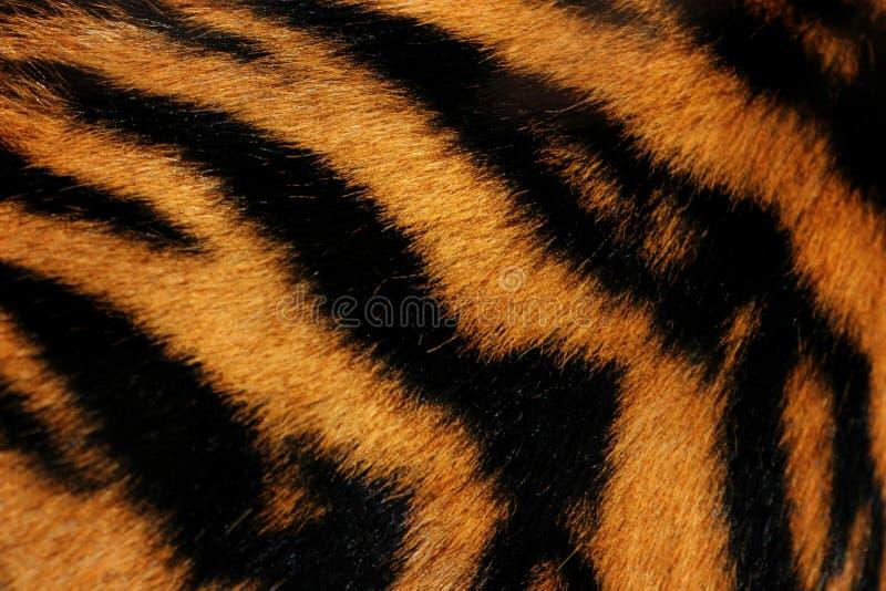Tiger fur royalty free stock image