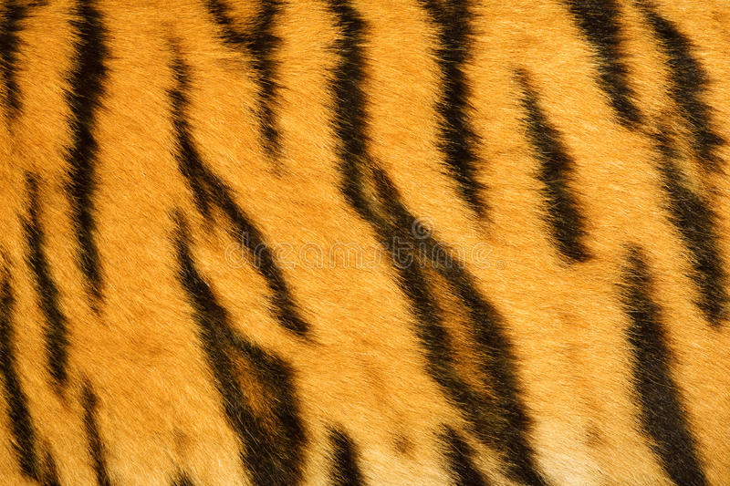 Download Tiger fur texture (real) stock image. Image of fuzz, trendy - 9604247