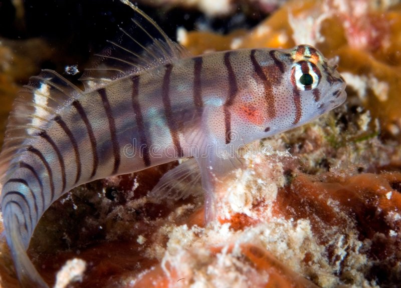 Tiger Goby. Gobiosoma macrodon picture taken in south east Florida stock photography