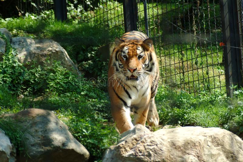 The tiger going forward, zoo of Bergamo. stock photography