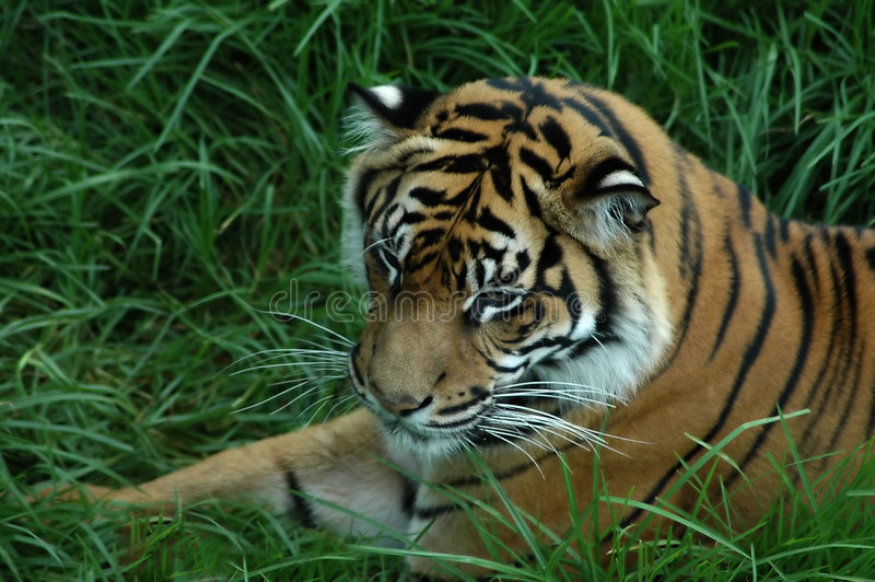 Download Tiger in the grass stock photo. Image of head, stare, lying - 167960