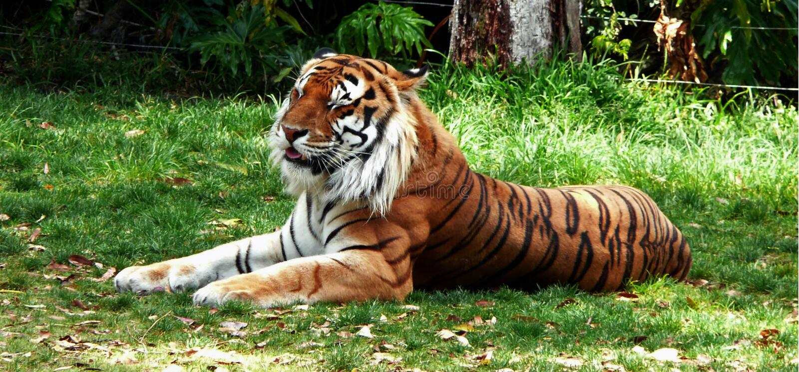 Tiger. The Tiger On The Grass stock photography