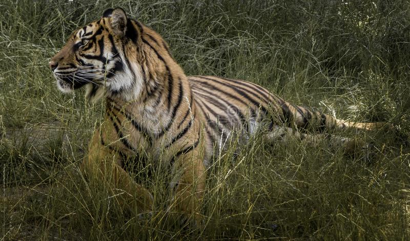 Tiger in the grass stock photography