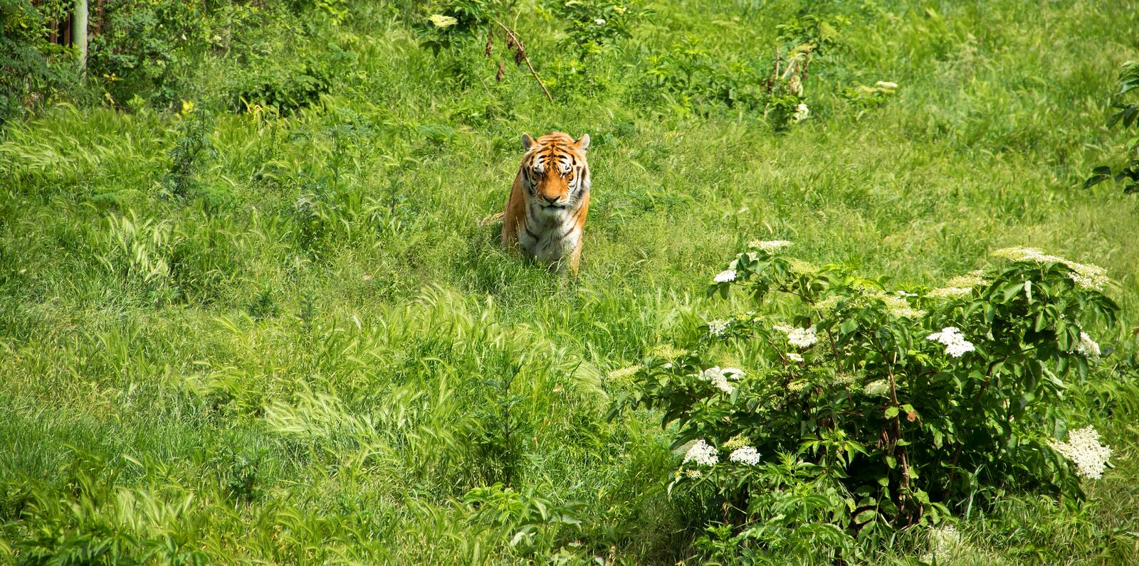 Tiger on Green Field. Tiger is Sitting in Grass Field royalty free stock image