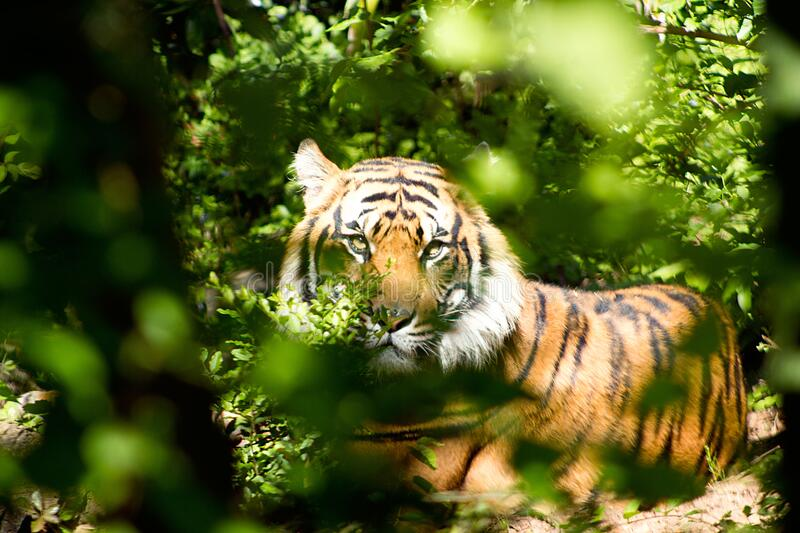 Tiger Through Green Leaves during Day royalty free stock images