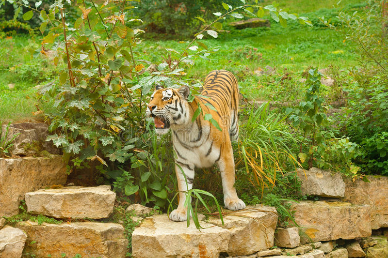 Tiger in green nature stock photos