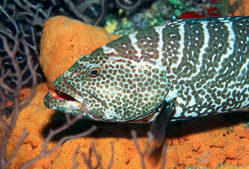 Download Tiger Grouper stock image. Image of cayman, marine, underwater - 26365
