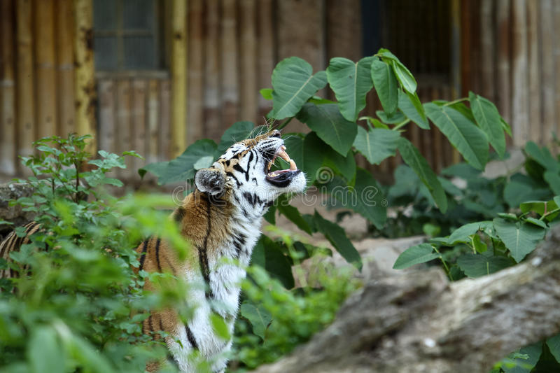 Tiger growl royalty free stock images