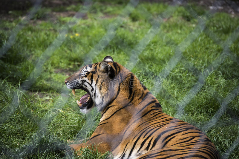 Tiger Growl Through Fence royaltyfri fotografi