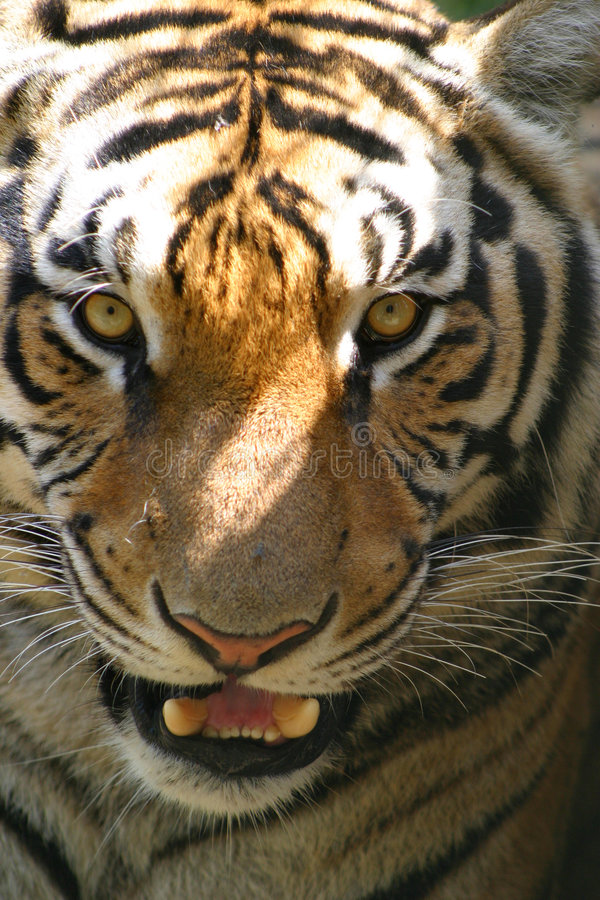 Tiger growling stock photography