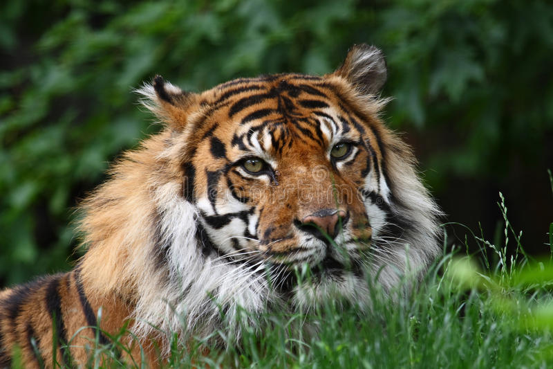 Download Tiger head stock photo. Image of wildlife, huge, head - 11167656