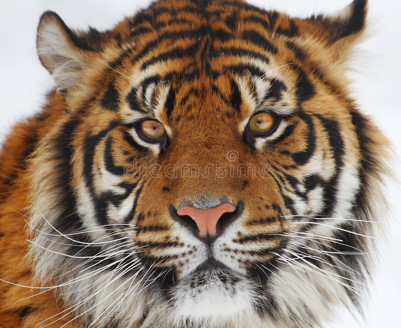 Tiger head stock photo image of animal tiger wildlife - Image tete de tigre ...