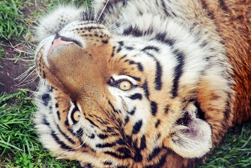 Tiger Head Detail Lying e Panthera Tigris Altaica do jogo imagem de stock royalty free