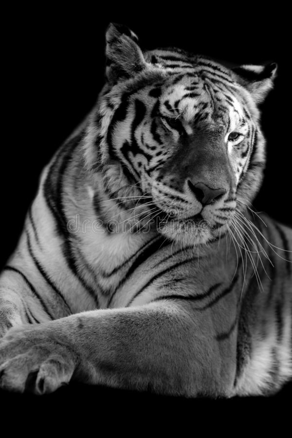 Tiger head on black background royalty free stock images